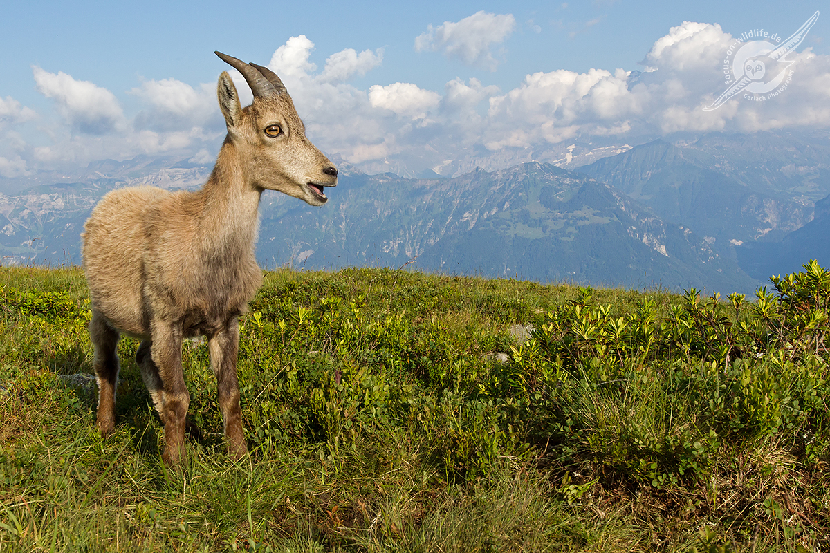Alpensteinbock 1D4 0336 web