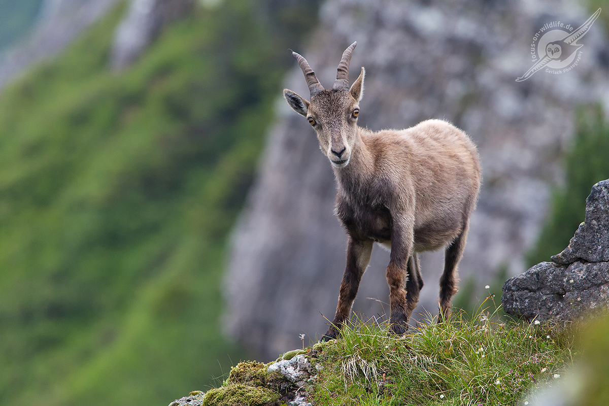 Alpensteinbock 1D4 9694 web