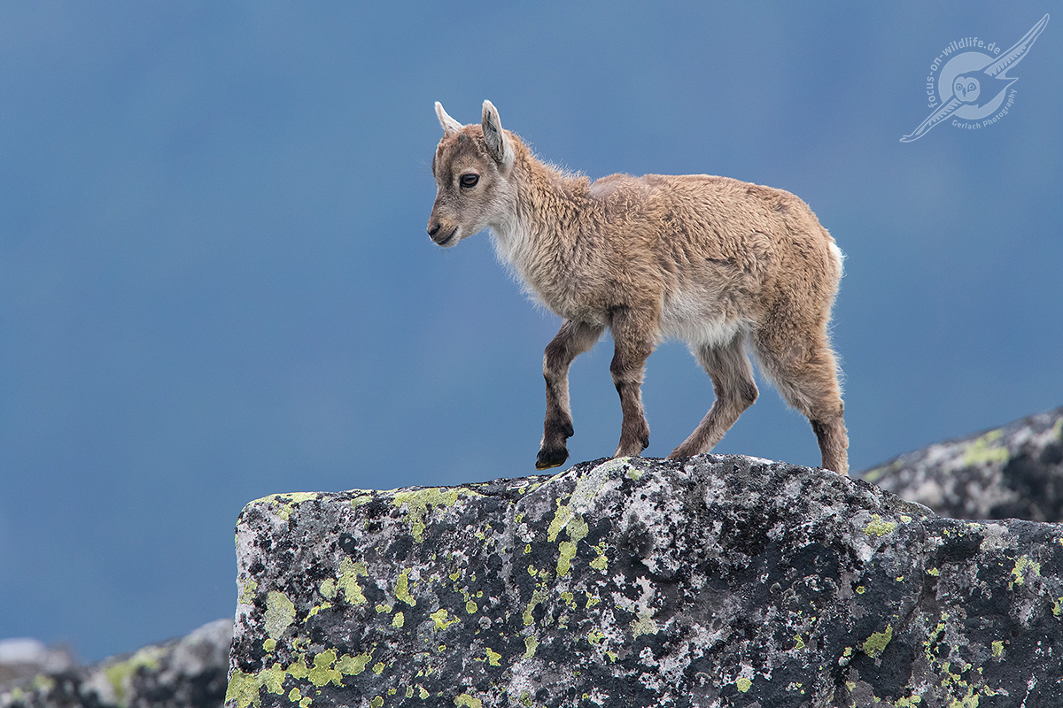 Alpensteinbock 1DX2 1217 web