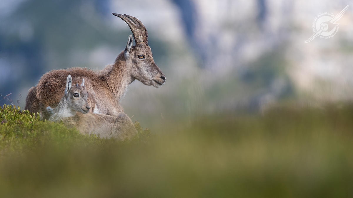 Alpensteinbock 1DX2 3447 web